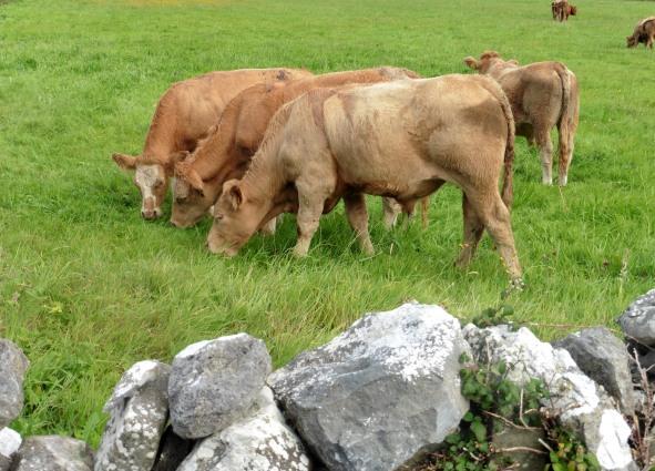 Doolin Cattle
