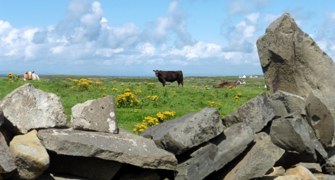 Doolin cattle